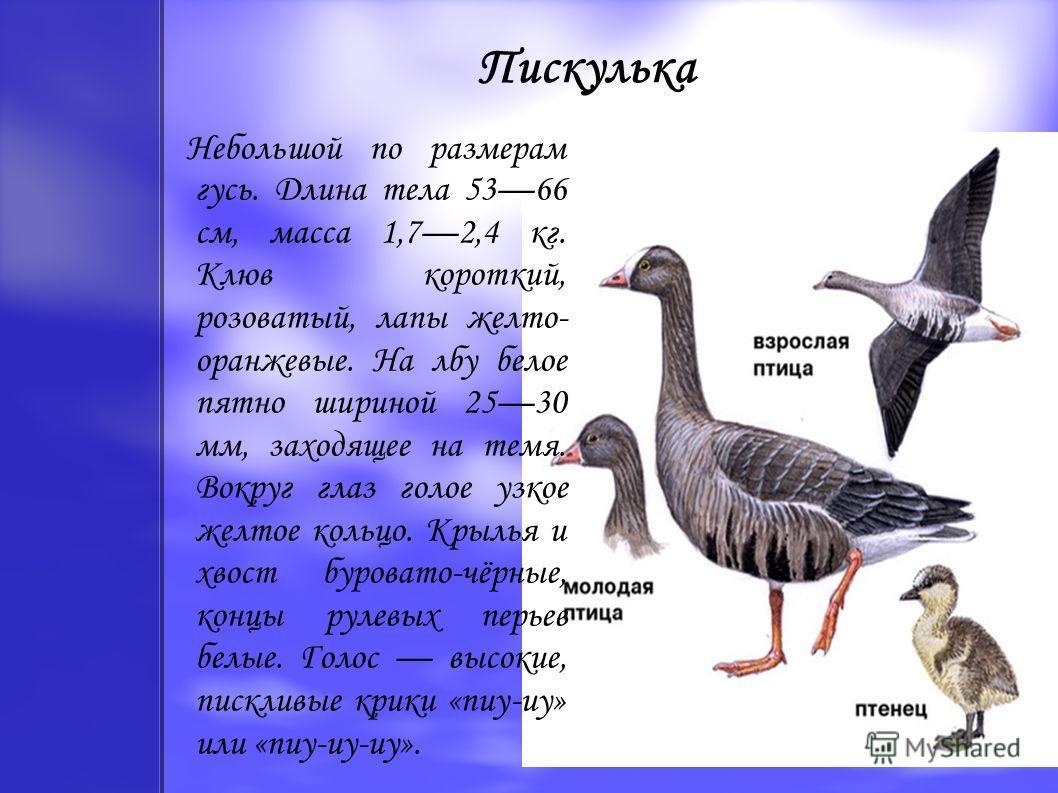 Пискулька Небольшой по размерам гусь. Длина тела 5366 см, масса 1,72,4 кг. Клюв короткий, розоватый, лапы желто- оранжевые. На лбу белое пятно шириной 2530 мм, заходящее на темя. Вокруг глаз голое узкое желтое кольцо. Крылья и хвост буровато-чёрные,