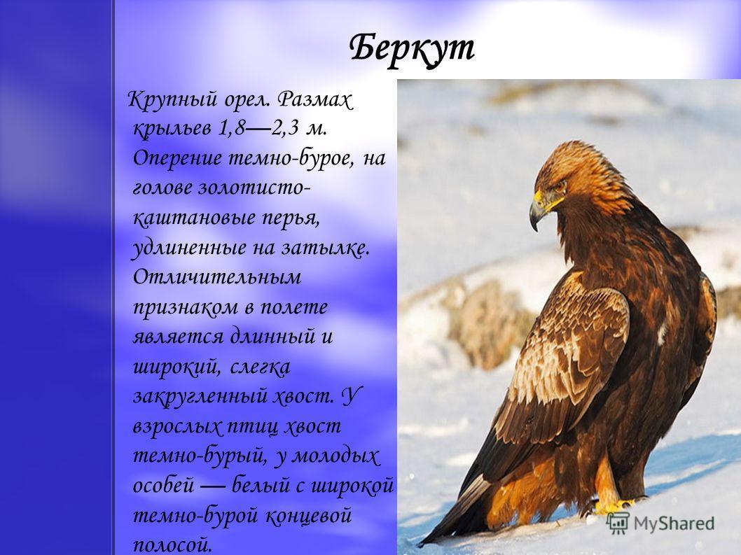 Беркут Крупный орел. Размах крыльев 1,82,3 м. Оперение темно-бурое, на голове золотисто- каштановые перья, удлиненные на затылке. Отличительным признаком в полете является длинный и широкий, слегка закругленный хвост. У взрослых птиц хвост темно-буры