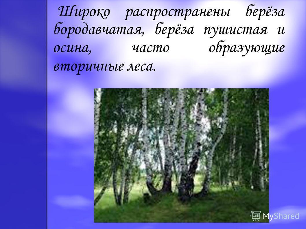 Широко распространены берёза бородавчатая, берёза пушистая и осина, часто образующие вторичные леса.