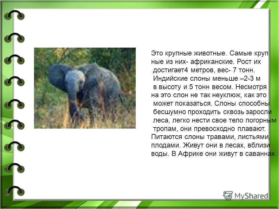 Это крупные животные. Самые круп ные из них- африканские. Рост их достигает4 метров, вес- 7 тонн. Индийские слоны меньше –2-3 м в высоту и 5 тонн весом. Несмотря на это слон не так неуклюж, как это может показаться. Слоны способны бесшумно проходить