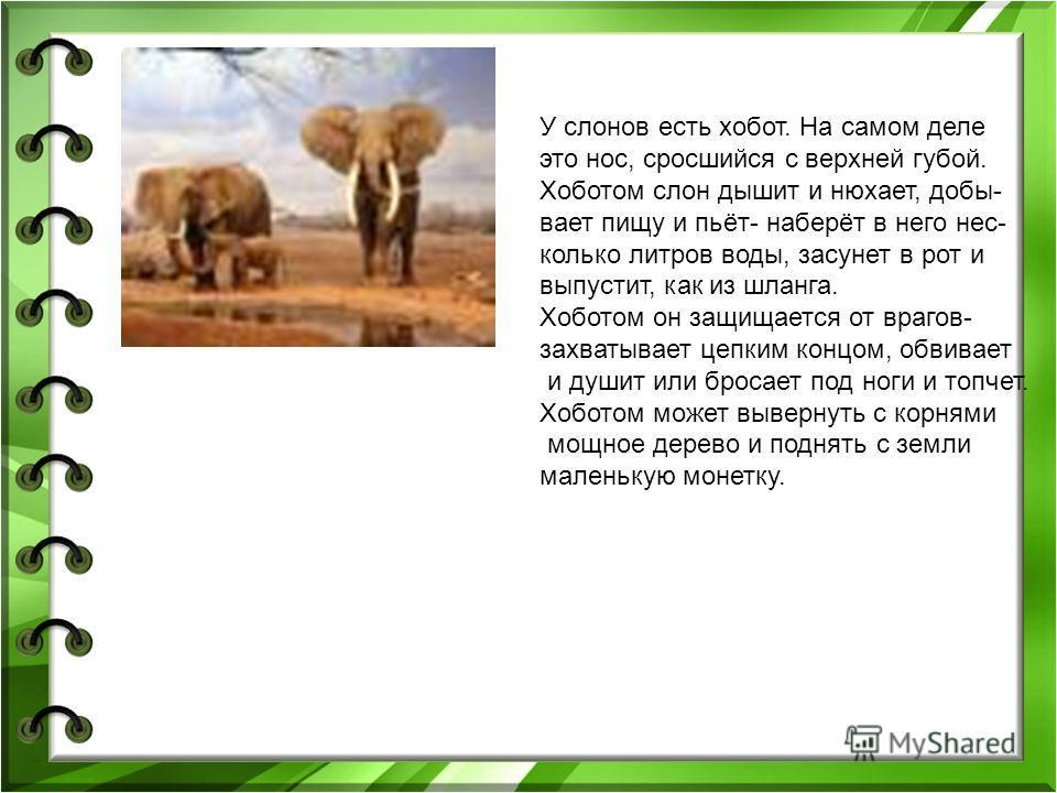 У слонов есть хобот. На самом деле это нос, сросшийся с верхней губой. Хоботом слон дышит и нюхает, добы- вает пищу и пьёт- наберёт в него нес- колько литров воды, засунет в рот и выпустит, как из шланга. Хоботом он защищается от врагов- захватывает