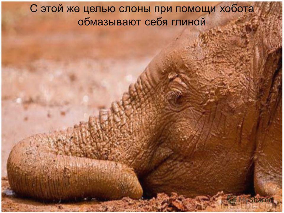 Слоны при помощи хобота обсыпают себя пылью, чтобы уничтожить вредных насекомых, которые забиваются в толстые складки кожи.