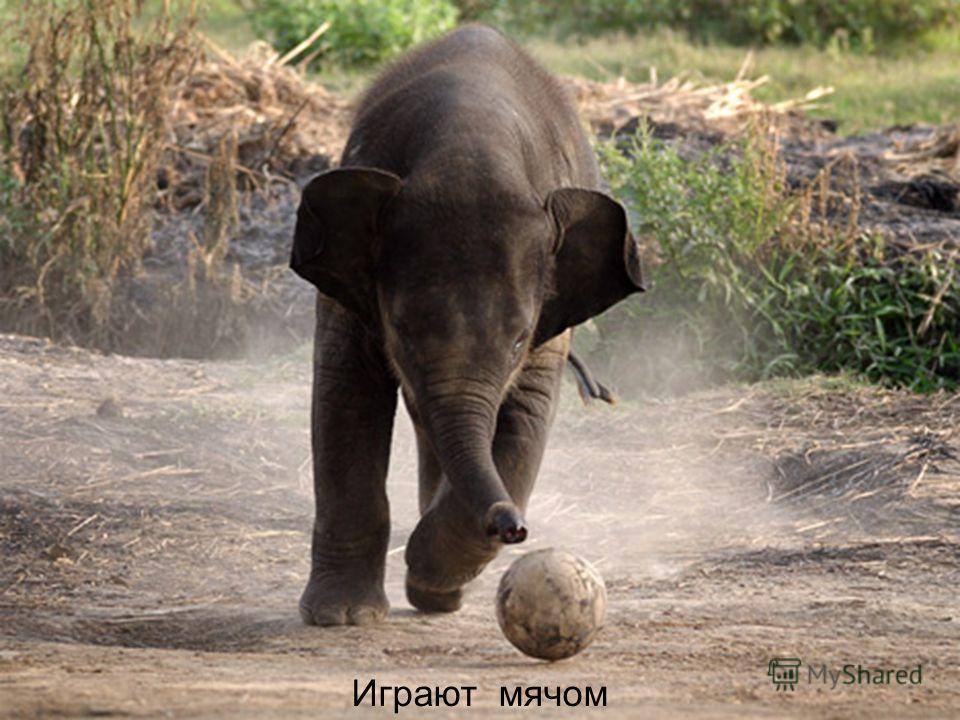 Как дети держатся за руку матери, так слонята ходят, держась хоботком за хвост слонихи. Слонята хоботом держатся за хвост мамы, чтобы не потеряться