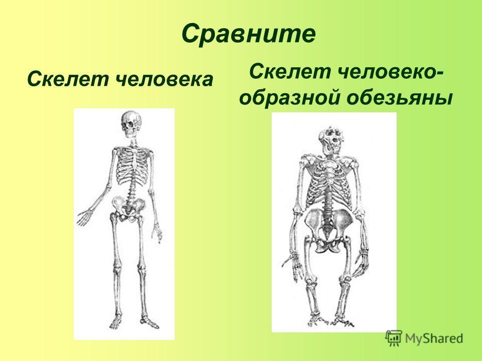 Сравните Скелет человека Скелет человеко- образной обезьяны