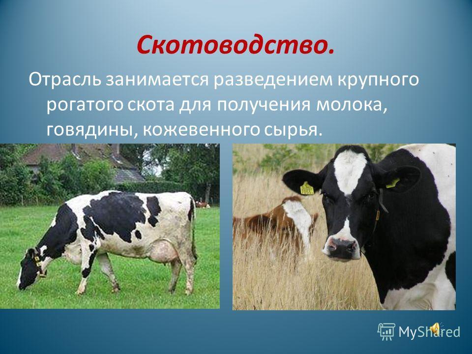 Животноводство. Это отрасль сельского хозяйства, которая занимается разведением домашних животных. Появлению животноводства предшествовал процесс одомашнивания определённых видов диких зверей, которые были пригодны для жизни с человеком и из которых