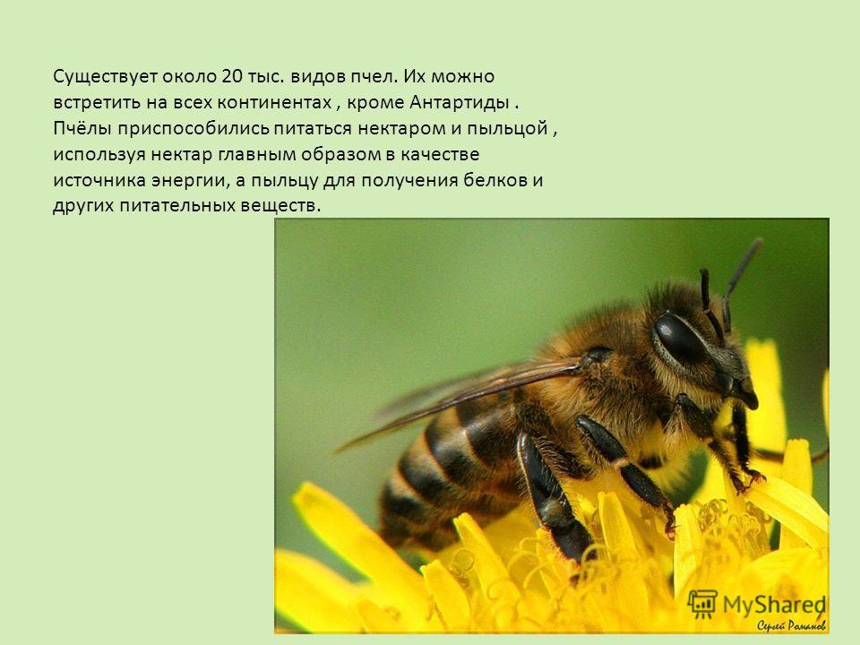 Существует около 20 тыс. видов пчел. Их можно встретить на всех континентах, кроме Антартиды. Пчёлы приспособились питаться нектаром и пыльцой, используя нектар главным образом в качестве источника энергии, а пыльцу для получения белков и других пита