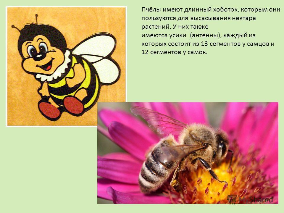 Пчёлы имеют длинный хоботок, которым они пользуются для высасывания нектара растений. У них также имеются усики (антенны), каждый из которых состоит из 13 сегментов у самцов и 12 сегментов у самок.