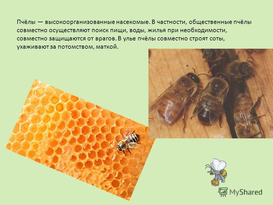 Пчёлы высокоорганизованные насекомые. В частности, общественные пчёлы совместно осуществляют поиск пищи, воды, жилья при необходимости, совместно защищаются от врагов. В улье пчёлы совместно строят соты, ухаживают за потомством, маткой.