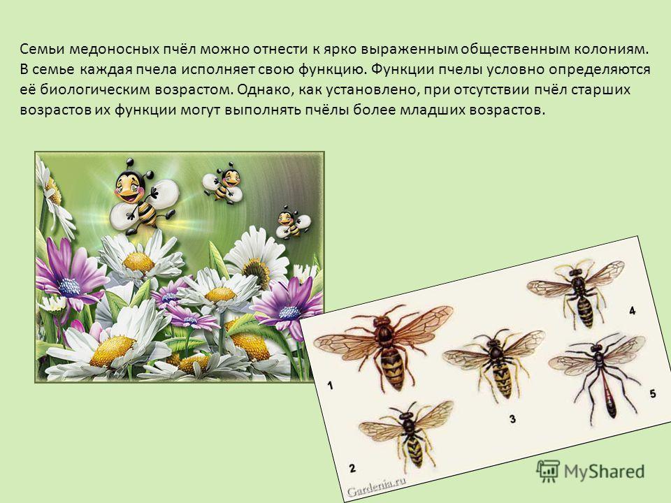 Семьи медоносных пчёл можно отнести к ярко выраженным общественным колониям. В семье каждая пчела исполняет свою функцию. Функции пчелы условно определяются её биологическим возрастом. Однако, как установлено, при отсутствии пчёл старших возрастов их
