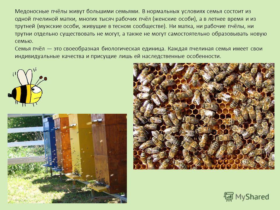 Медоносные пчёлы живут большими семьями. В нормальных условиях семья состоит из одной пчелиной матки, многих тысяч рабочих пчёл (женские особи), а в летнее время и из трутней (мужские особи, живущие в тесном сообществе). Ни матка, ни рабочие пчёлы, н