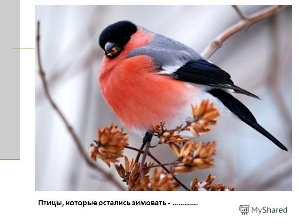 Птицы, которые остались зимовать - ………….