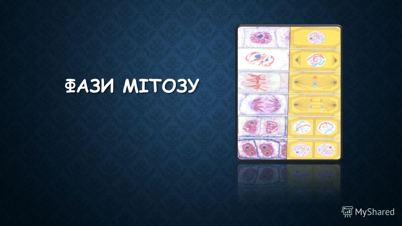 ФАЗИ МІТОЗУ