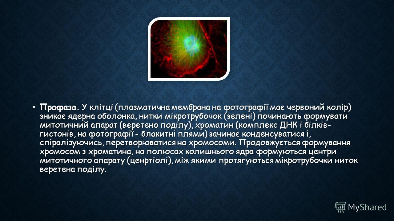 Профаза. У клітці (плазматична мембрана на фотографії має червоний колір) зникає ядерна оболонка, нитки мікротрубочок (зелені) починають формувати митотичний апарат (веретено поділу), хроматин (комплекс ДНК і білків- гистонів, на фотографії - блакитн