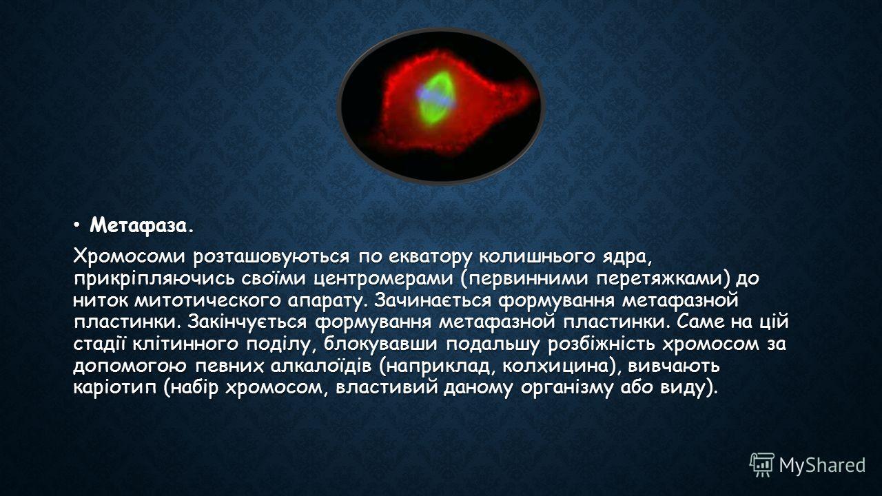 Метафаза. Метафаза. Хромосоми розташовуються по екватору колишнього ядра, прикріпляючись своїми центромерами (первинними перетяжками) до ниток митотического апарату. Зачинається формування метафазной пластинки. Закінчується формування метафазной плас