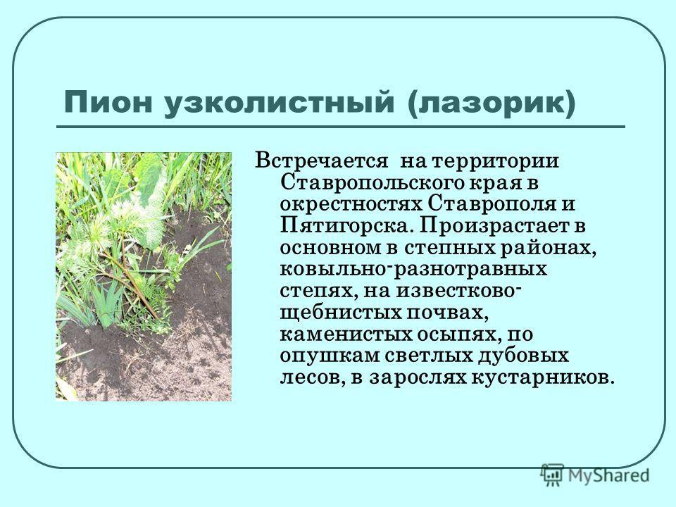 Пион узколистный (лазорик) Встречается на территории Ставропольского края в окрестностях Ставрополя и Пятигорска. Произрастает в основном в степных районах, ковыльно-разнотравных степях, на известково- щебнистых почвах, каменистых осыпях, по опушкам