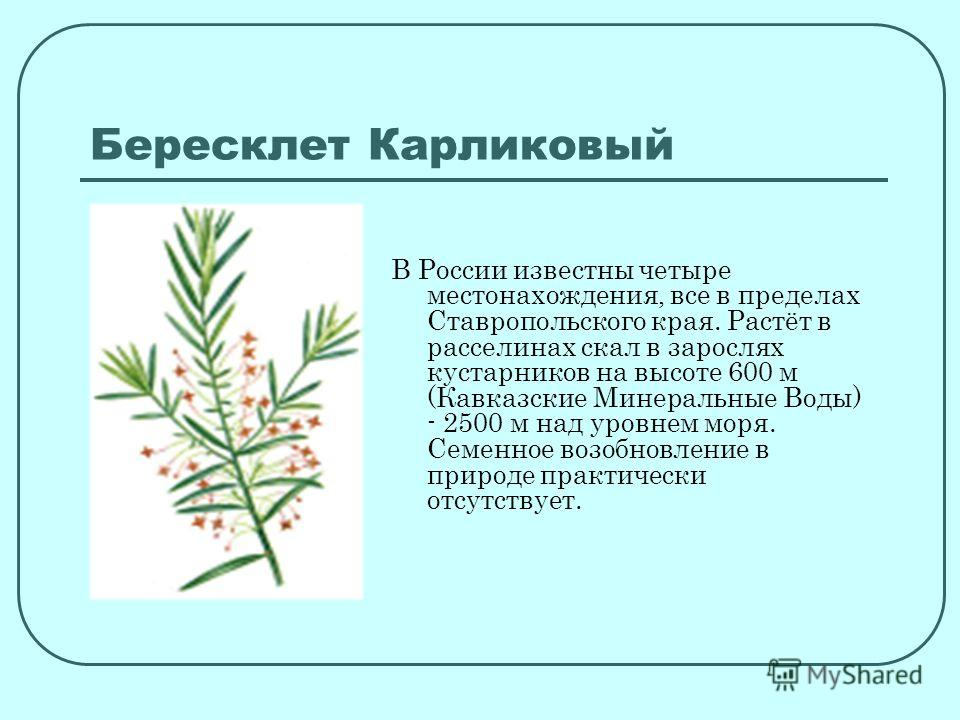 Бересклет Карликовый В России известны четыре местонахождения, все в пределах Ставропольского края. Растёт в расселинах скал в зарослях кустарников на высоте 600 м (Кавказские Минеральные Воды) - 2500 м над уровнем моря. Семенное возобновление в прир