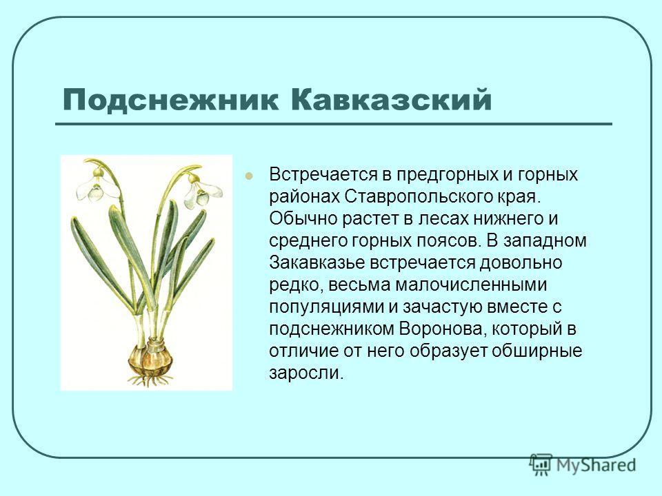 Встречается в предгорных и горных районах Ставропольского края. Обычно растет в лесах нижнего и среднего горных поясов. В западном Закавказье встречается довольно редко, весьма малочисленными популяциями и зачастую вместе с подснежником Воронова, кот