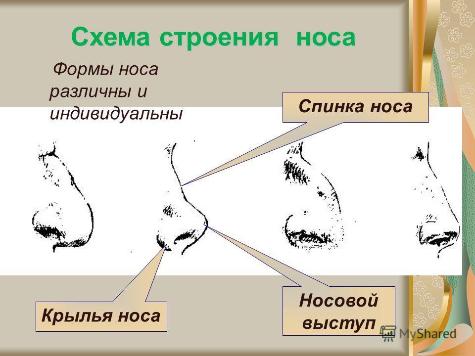 Схема строения носа Крылья носа Носовой выступ Спинка носа Формы носа различны и индивидуальны