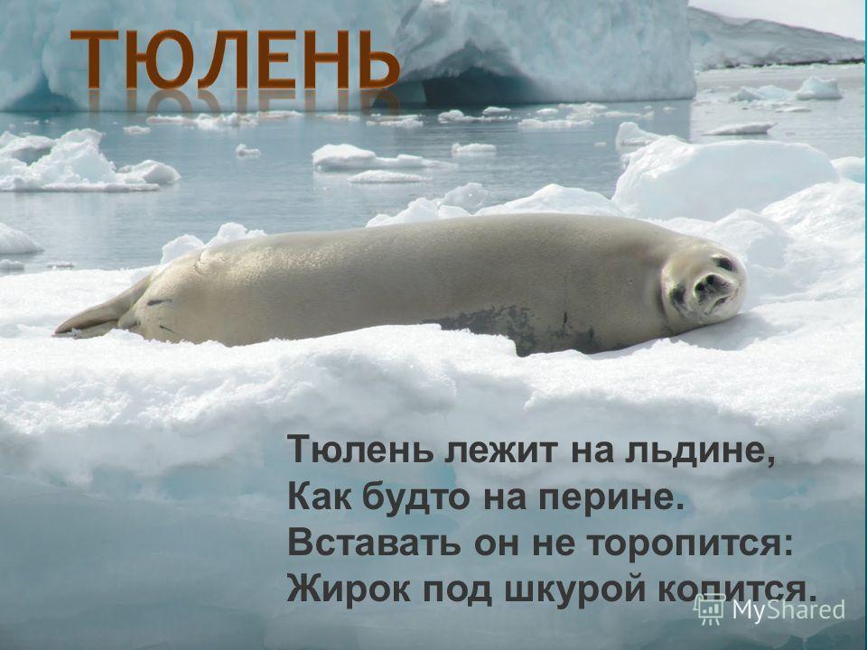 Тюлень лежит на льдине, Как будто на перине. Вставать он не торопится: Жирок под шкурой копится.