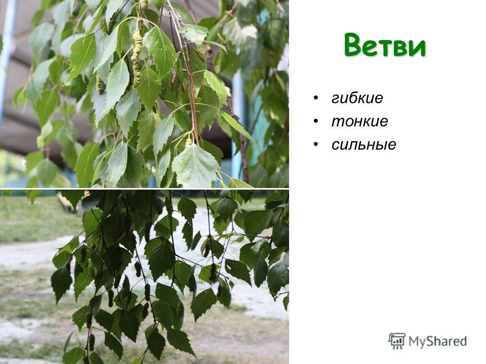 Ветви гибкие тонкие сильные
