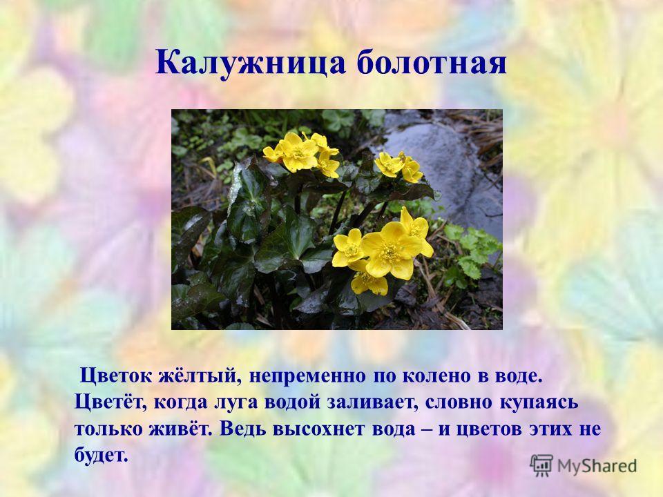 Калужница болотная Цветок жёлтый, непременно по колено в воде. Цветёт, когда луга водой заливает, словно купаясь только живёт. Ведь высохнет вода – и цветов этих не будет.