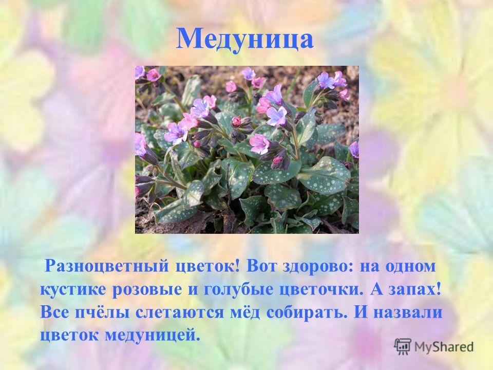 Медуница Разноцветный цветок! Вот здорово: на одном кустике розовые и голубые цветочки. А запах! Все пчёлы слетаются мёд собирать. И назвали цветок медуницей.