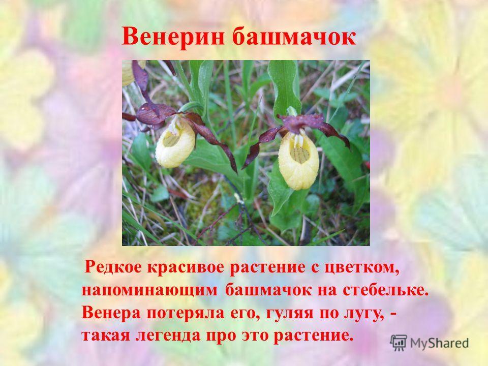 Венерин башмачок Редкое красивое растение с цветком, напоминающим башмачок на стебельке. Венера потеряла его, гуляя по лугу, - такая легенда про это растение.