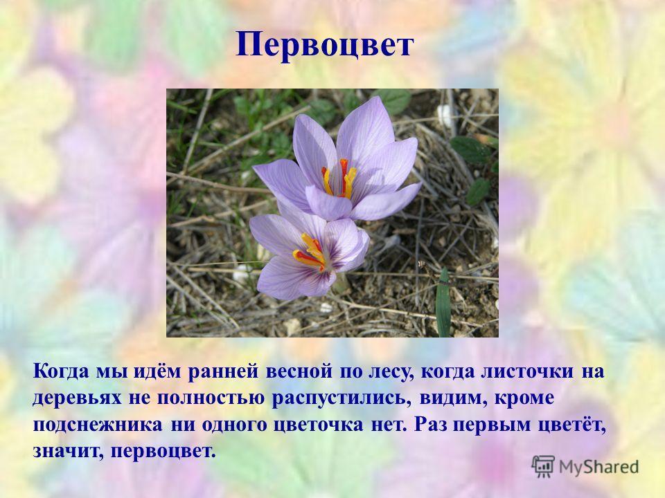 Первоцвет Когда мы идём ранней весной по лесу, когда листочки на деревьях не полностью распустились, видим, кроме подснежника ни одного цветочка нет. Раз первым цветёт, значит, первоцвет.