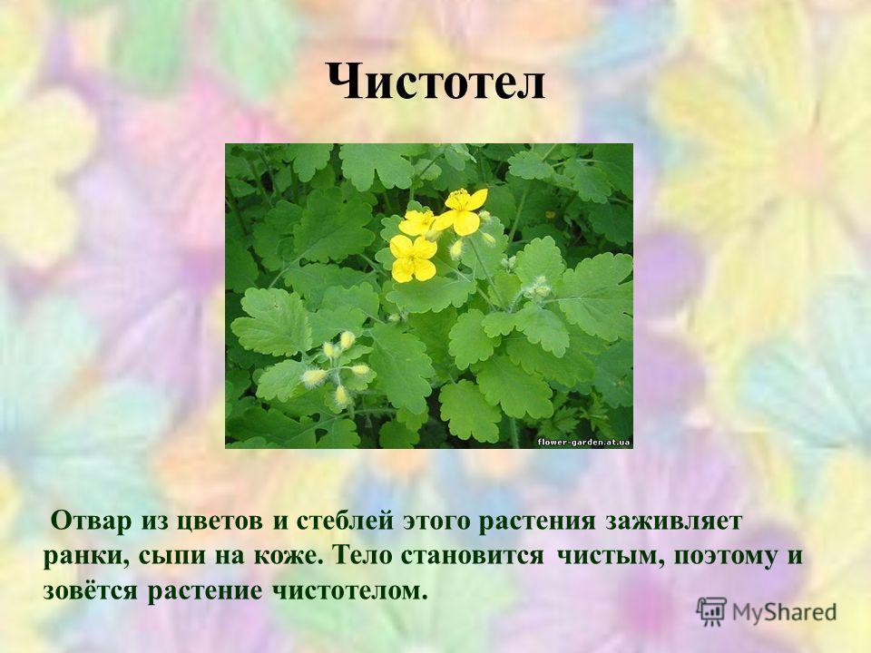Чистотел Отвар из цветов и стеблей этого растения заживляет ранки, сыпи на коже. Тело становится чистым, поэтому и зовётся растение чистотелом.