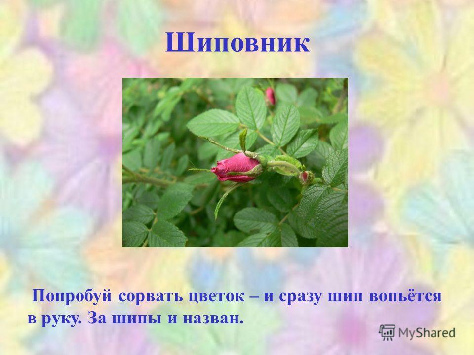 Шиповник Попробуй сорвать цветок – и сразу шип вопьётся в руку. За шипы и назван.