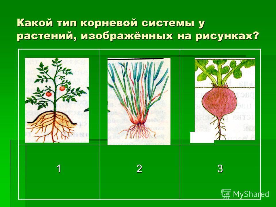 Какой тип корневой системы у растений, изображённых на рисунках? 123