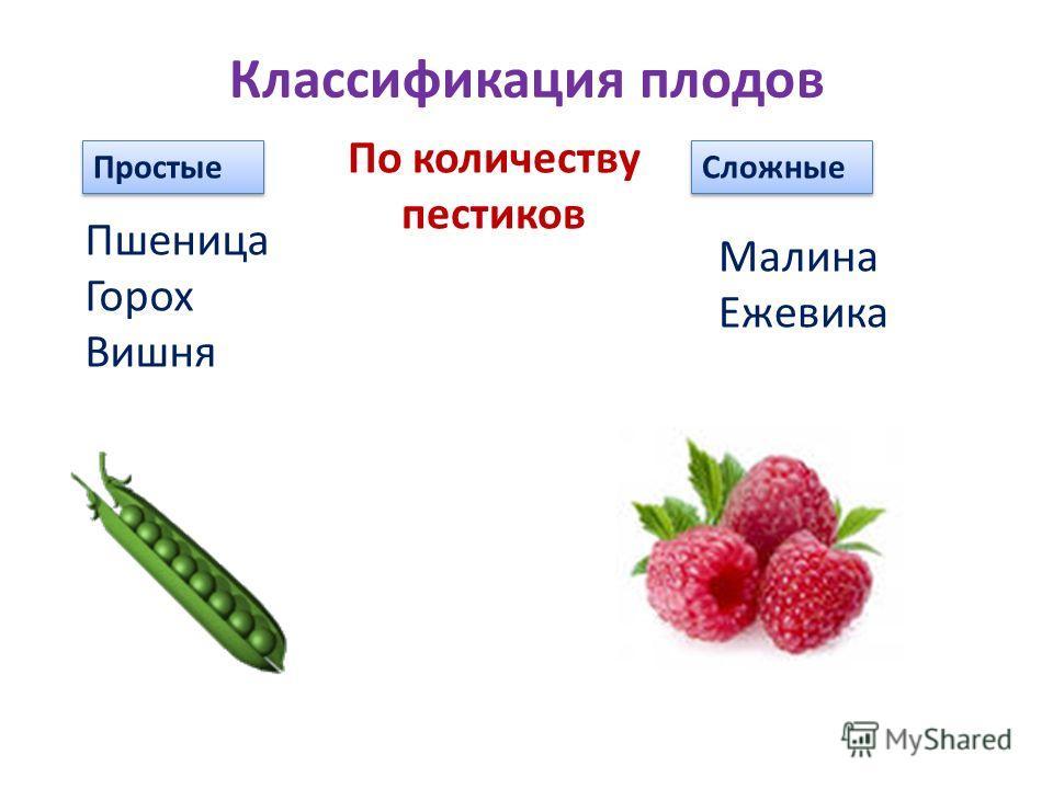 Классификация плодов Простые Сложные Пшеница Горох Вишня Малина Ежевика По количеству пестиков