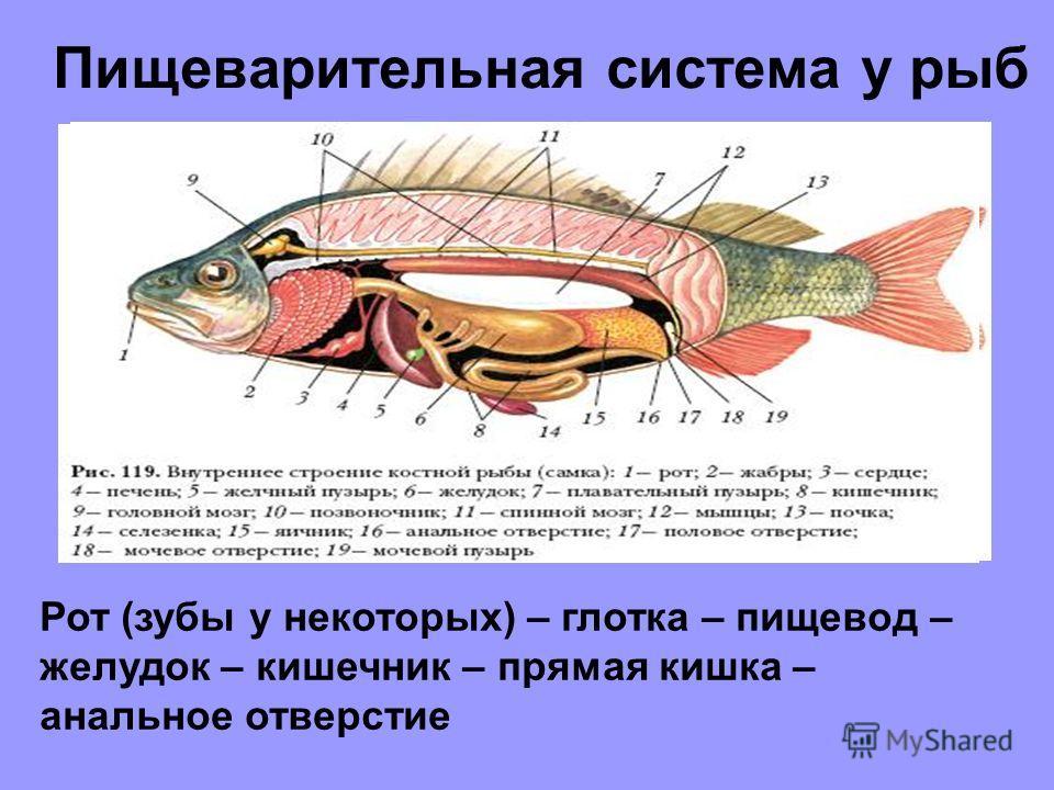 Пищеварительная система у рыб Рот (зубы у некоторых) – глотка – пищевод – желудок – кишечник – прямая кишка – анальное отверстие