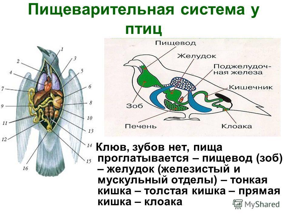 Пищеварительная система у птиц Клюв, зубов нет, пища проглатывается – пищевод (зоб) – желудок (железистый и мускульный отделы) – тонкая кишка – толстая кишка – прямая кишка – клоака