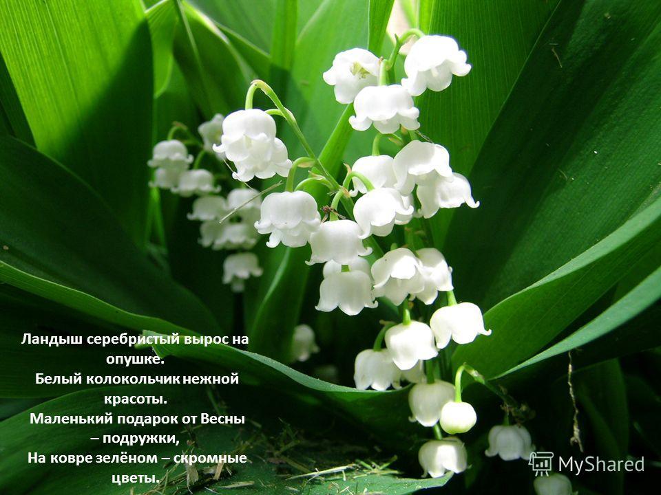 Ландыш серебристый вырос на опушке. Белый колокольчик нежной красоты. Маленький подарок от Весны – подружки, На ковре зелёном – скромные цветы.