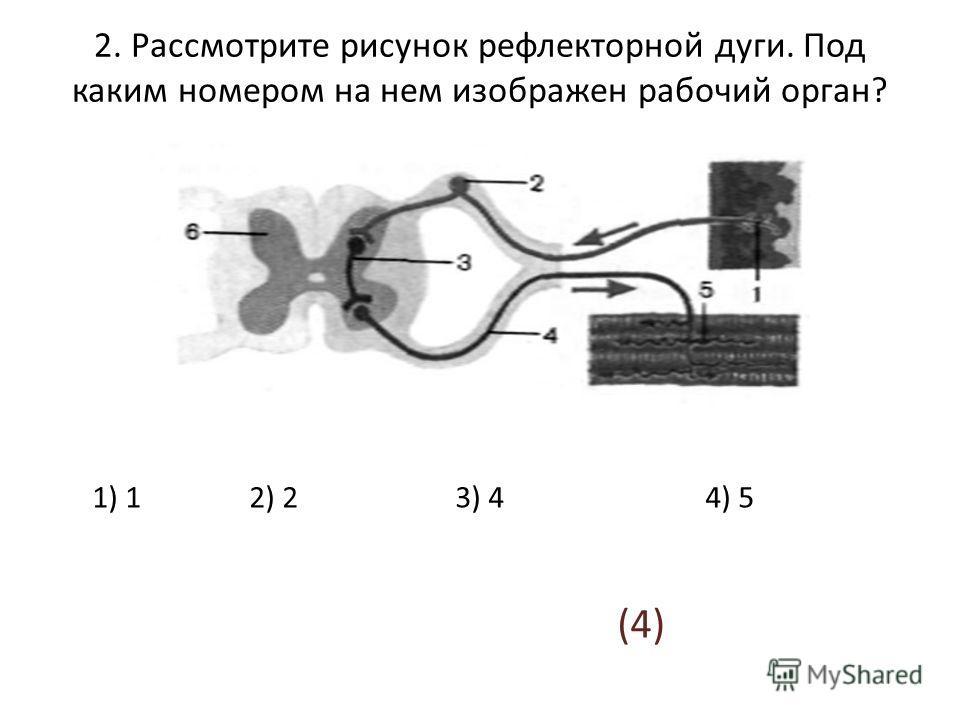 2. Рассмотрите рисунок рефлекторной дуги. Под каким номером на нем изображен рабочий орган? 1) 1 2) 2 3) 4 4) 5 (4)
