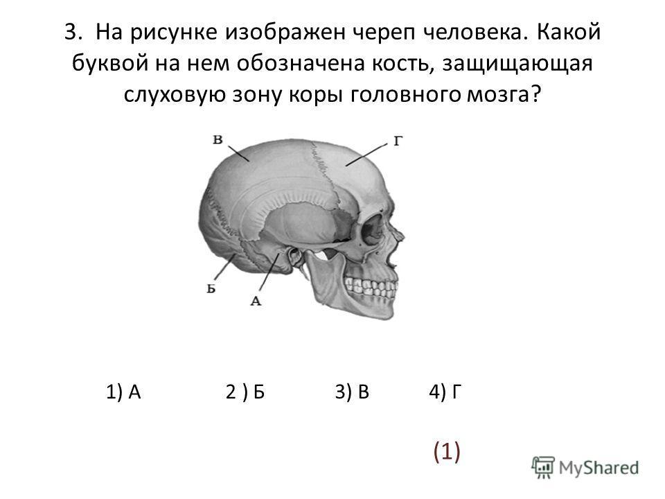 3. На рисунке изображен череп человека. Какой буквой на нем обозначена кость, защищающая слуховую зону коры головного мозга? 1) А 2 ) Б 3) В 4) Г (1)