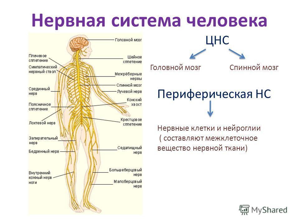 Центральная нервная и периферическая нервная система реферат Нервная систем человека реферат