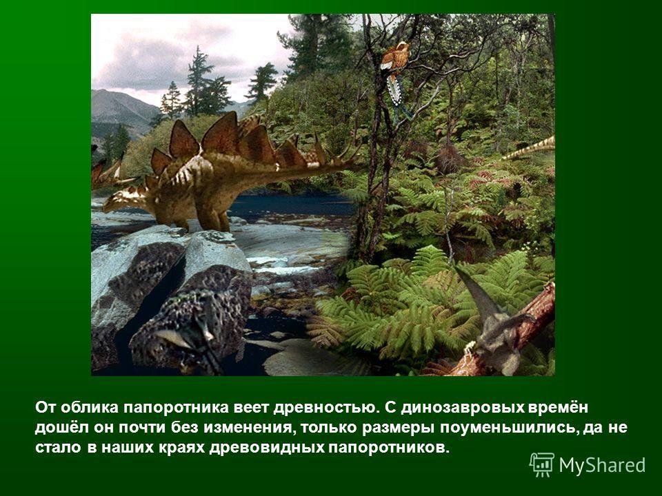 От облика папоротника веет древностью. С динозавровых времён дошёл он почти без изменения, только размеры поуменьшились, да не стало в наших краях древовидных папоротников.