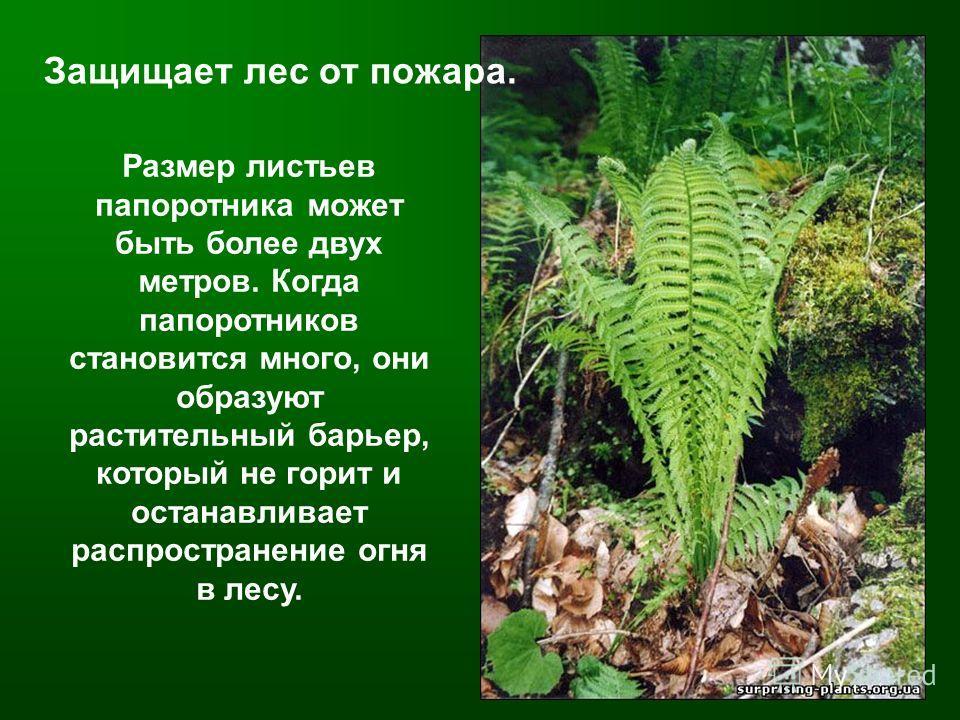 Размер листьев папоротника может быть более двух метров. Когда папоротников становится много, они образуют растительный барьер, который не горит и останавливает распространение огня в лесу. Защищает лес от пожара.