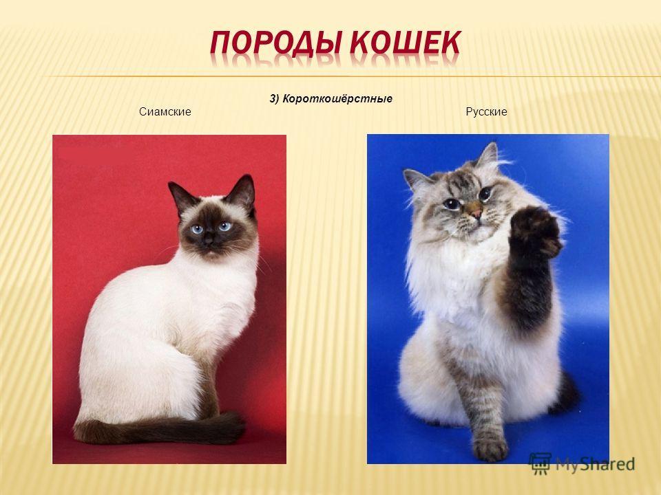 3) Короткошёрстные Сиамские Русские