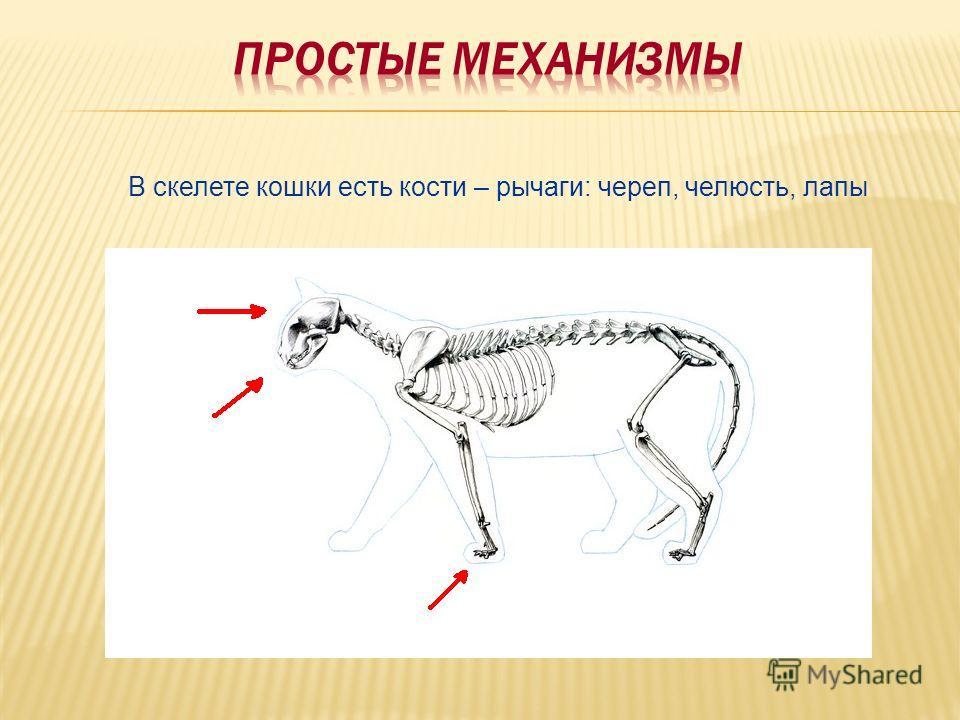 В скелете кошки есть кости – рычаги: череп, челюсть, лапы