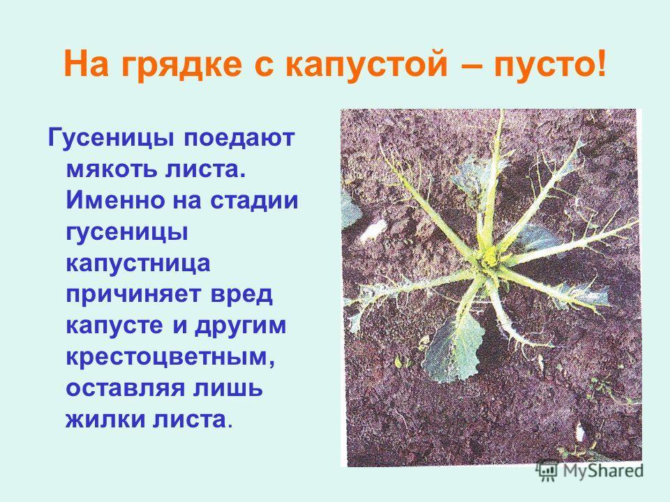 На грядке с капустой – пусто! Гусеницы поедают мякоть листа. Именно на стадии гусеницы капустница причиняет вред капусте и другим крестоцветным, оставляя лишь жилки листа.