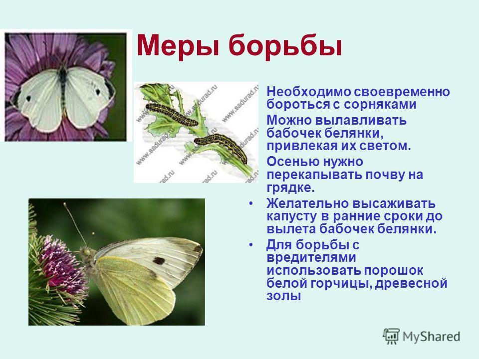 Меры борьбы Необходимо своевременно бороться с сорняками Можно вылавливать бабочек белянки, привлекая их светом. Осенью нужно перекапывать почву на грядке. Желательно высаживать капусту в ранние сроки до вылета бабочек белянки. Для борьбы с вредителя