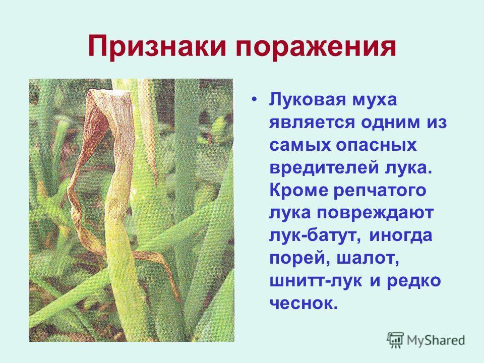 Признаки поражения Луковая муха является одним из самых опасных вредителей лука. Кроме репчатого лука повреждают лук-батут, иногда порей, шалот, шнитт-лук и редко чеснок.