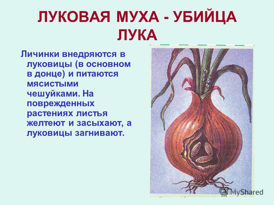 ЛУКОВАЯ МУХА - УБИЙЦА ЛУКА Личинки внедряются в луковицы (в основном в донце) и питаются мясистыми чешуйками. На поврежденных растениях листья желтеют и засыхают, а луковицы загнивают.
