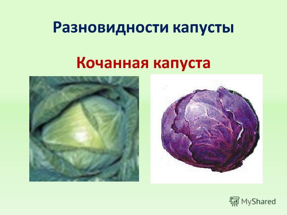 Разновидности капусты Кочанная капуста