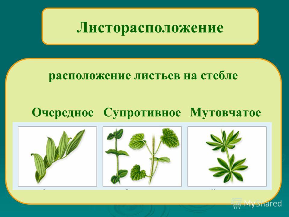 Листорасположение расположение листьев на стебле Очередное Супротивное Мутовчатое