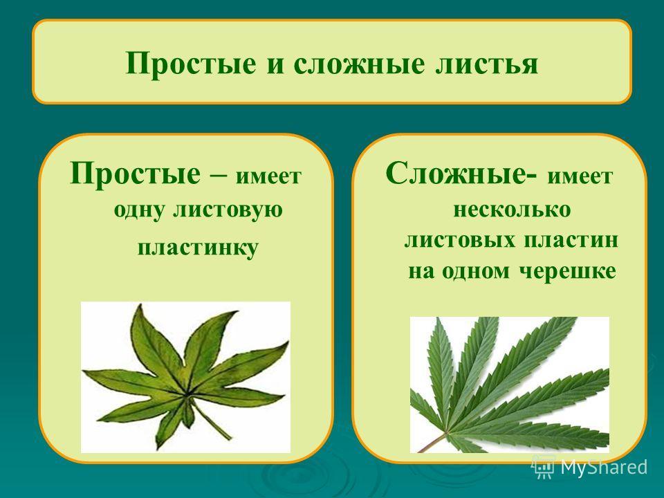 Простые и сложные листья Сложные- имеет несколько листовых пластин на одном черешке Простые – имеет одну листовую пластинку