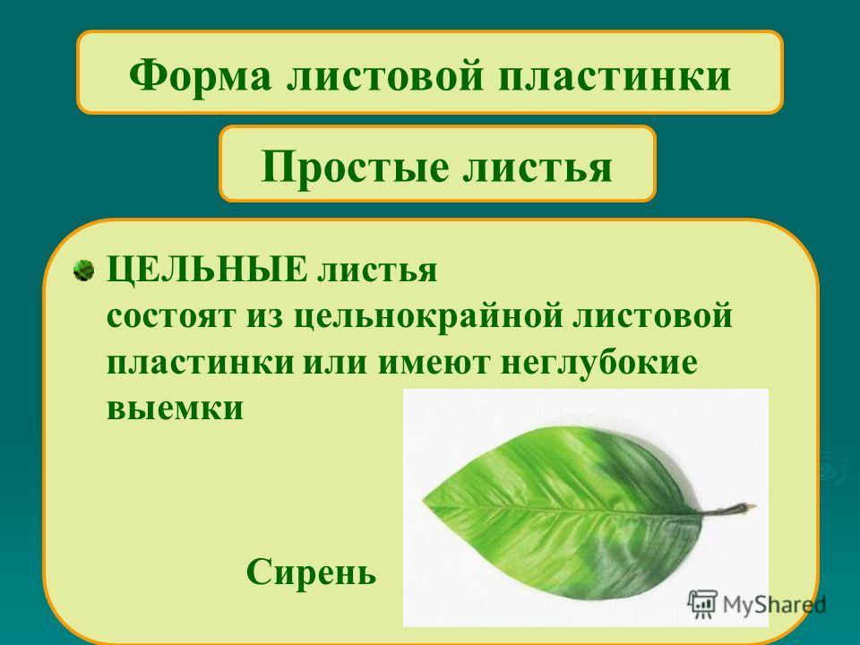 Форма листовой пластинки ЦЕЛЬНЫЕ листья состоят из цельнокрайной листовой пластинки или имеют неглубокие выемки Сирень Простые листья